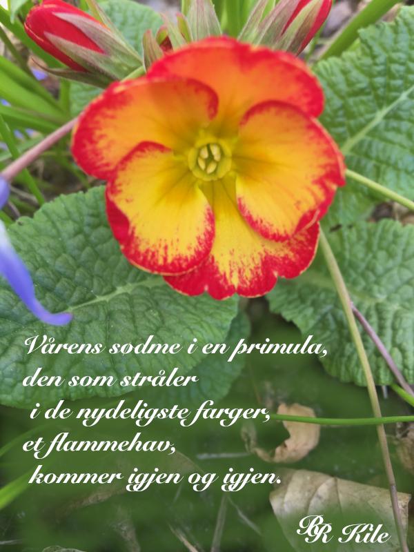 Dikt,  vårens sødme i en primula, å skrive om jorda bare, få bære vekta av tanker, frihetens stjerne, der stjerner skinner om dagen, tidshavets bølger,  lyrikk, poesi, forfatter R.R.