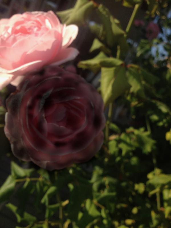 Dikt og ordlek, Fins det sorte roser til å stikke seg på, verdenborgere er vi, gjennom semulegrøt og havregrøt dit høye tinder faller,  vers, lyrikk, borgere av livet, Forfatter R.R. Kile