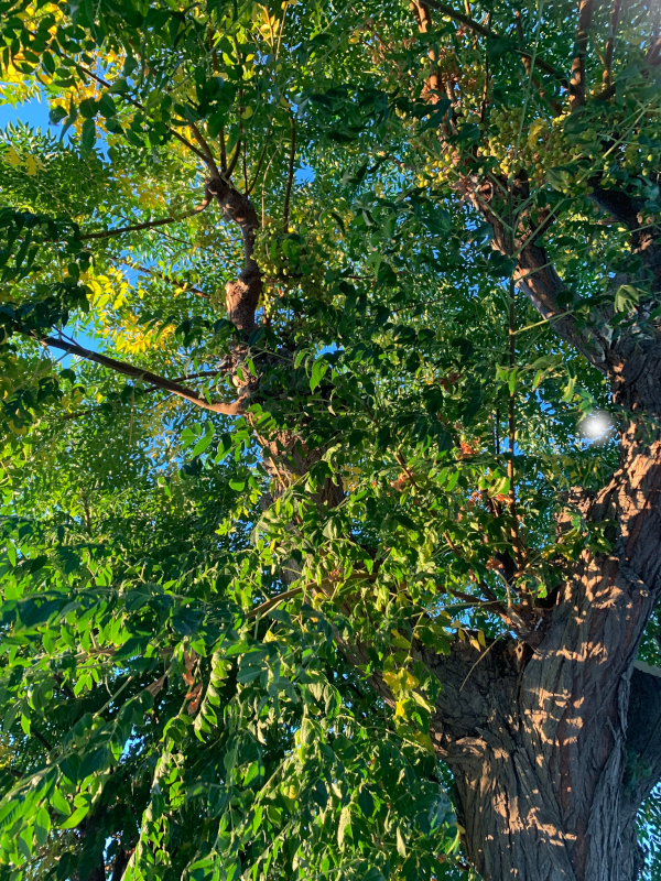 De mange grønne greiner, de som har kjent kjærlighetens lengsel som en stige i sin kropp, over regnbuens farger i de dypeste slukter, morgendagens lengsel, poesi, lyrikk, Forfatter R.R. Kile.